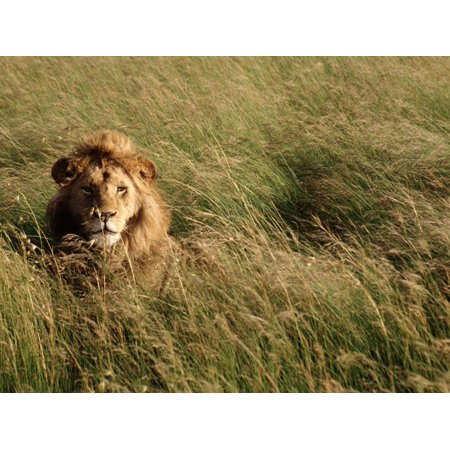 Male Lion Hiding, Masai Mara National Park, Kenya Print Wall Art By Michele Burgess ()