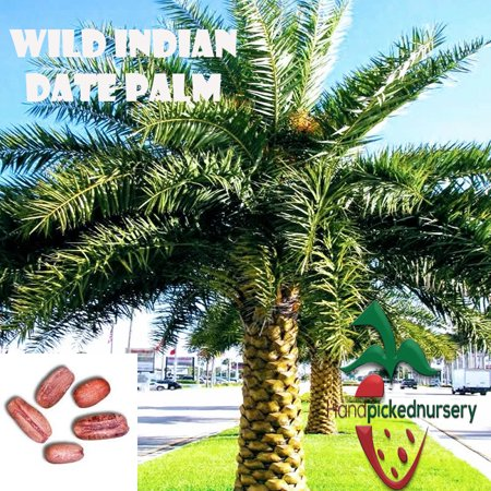 25 Wild Indian Date Palm seeds, ( Phoenix sylvestris ) from Hand Picked (Bamboo Palm Seeds)