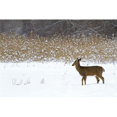 White-Tailed Deer Odocoileus Virginianus Standing in Snow in Winter - Quebec Canada Poster Print - 38 x 24 in. - Large - image 1 de 1