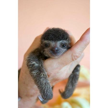 Brown-throated Three-toed Sloth baby Aviarios Sloth Sanctuary Costa Rica Poster Print by Suzi Eszterhas](Sloth Rental)
