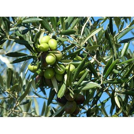 Framed Art for Your Wall Drupes Green Olives Olives Olive Food Green 10x13 -