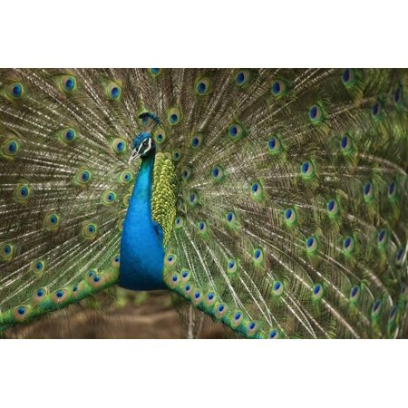 Indian Hand Art (Male Indian Peacock in Costa Rica Print Wall Art )