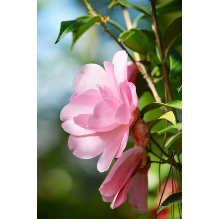 Inbloom Stickers (Peel-n-Stick Poster of Camellia Pink Flower Bloom In Sun Poster 24x16 Adhesive Sticker Poster)