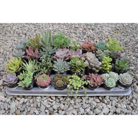 "One Assorted 2.5"" Live Succulent for Gardens, Patio, Home Decor ..."