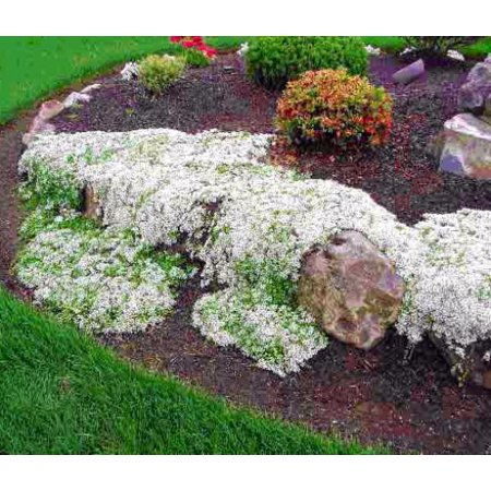 - White Creeping Thyme Plant - Lightly Scented - Live Plant -3