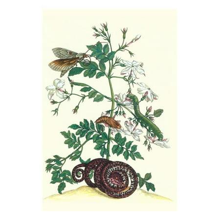 Royal Jasmine with an Amazon Tree Boa and an Ello Sphinx Moth Print Wall Art By Maria Sibylla Merian (Amazon Tree Boa)