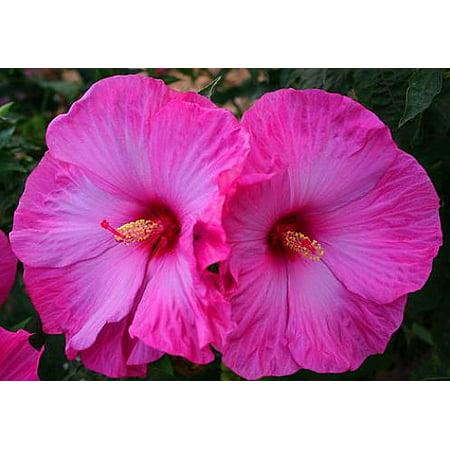 Flemings Little Prince Hardy Hibiscus Plant 4 Pot Compact Plant