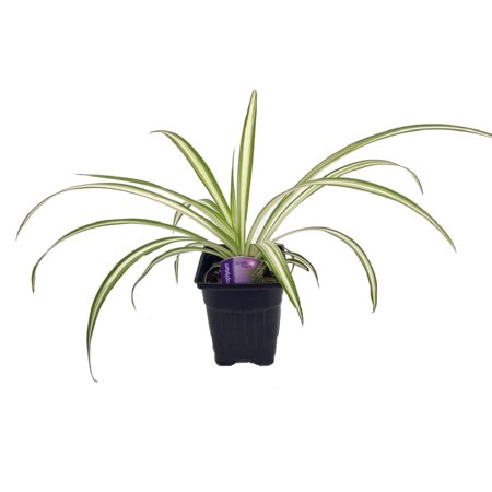 Hirt's Ocean Spider Plant - Easy to Grow - Cleans the Air - NEW - 3.5