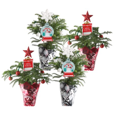 Delray Plants Live Norfolk Island Pine Mini Christmas Tree 4 Pack