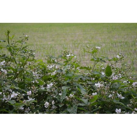 Individual Berry Blossom (Canvas Print Bloom Berm Burr Blossom Pasture BlackBerry Blossom Stretched Canvas 10 x 14 )