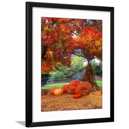 Corn Stalks For Halloween (Halloween Decorations of Pumpkins and Corn Stalks in Front of a Home Framed Print Wall Art By John)