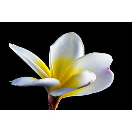 LAMINATED POSTER Blossom White Plumeria Bloom Frangipani Flower Poster Print 24 x 36