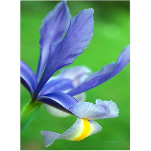 "Trademark Fine Art ""Spring Iris"" Canvas Art by Kathy Yates"