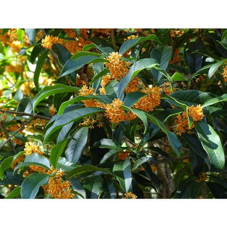 ( 3 ) - Apricot Echo Orange Tea Olive - Live Plants ( SM ) ( Pack of 3 )