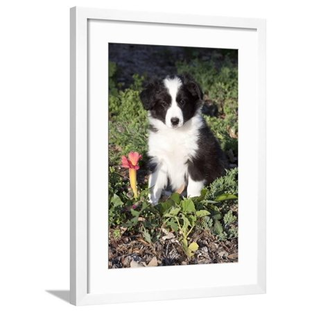 Border Collie Pup in Grass, Leaves, and Trumpet Flowers, Goleta, California, USA Framed Print Wall Art By Lynn M. Stone