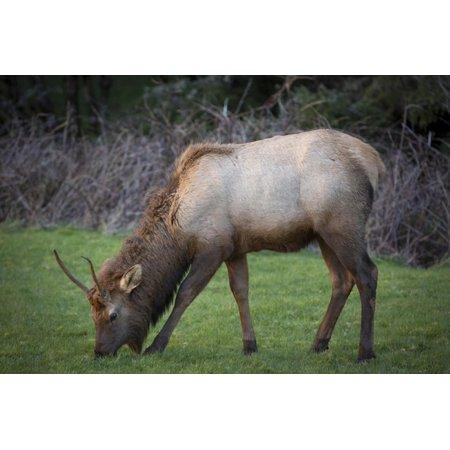 Young Elk Feeding In A Grassy Area Near Cannon Beach