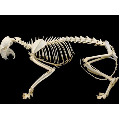 Cat Skeleton Print Wall Art By Scientifica - Walmart.com