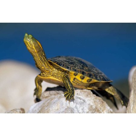 Yellow-bellied Slider turtle portrait on rock North America Poster Print by Tim Fitzharris