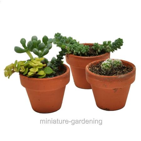 Succulent Mix in 3 Miniature Terra Cotta Pots, (Mixed Pot)