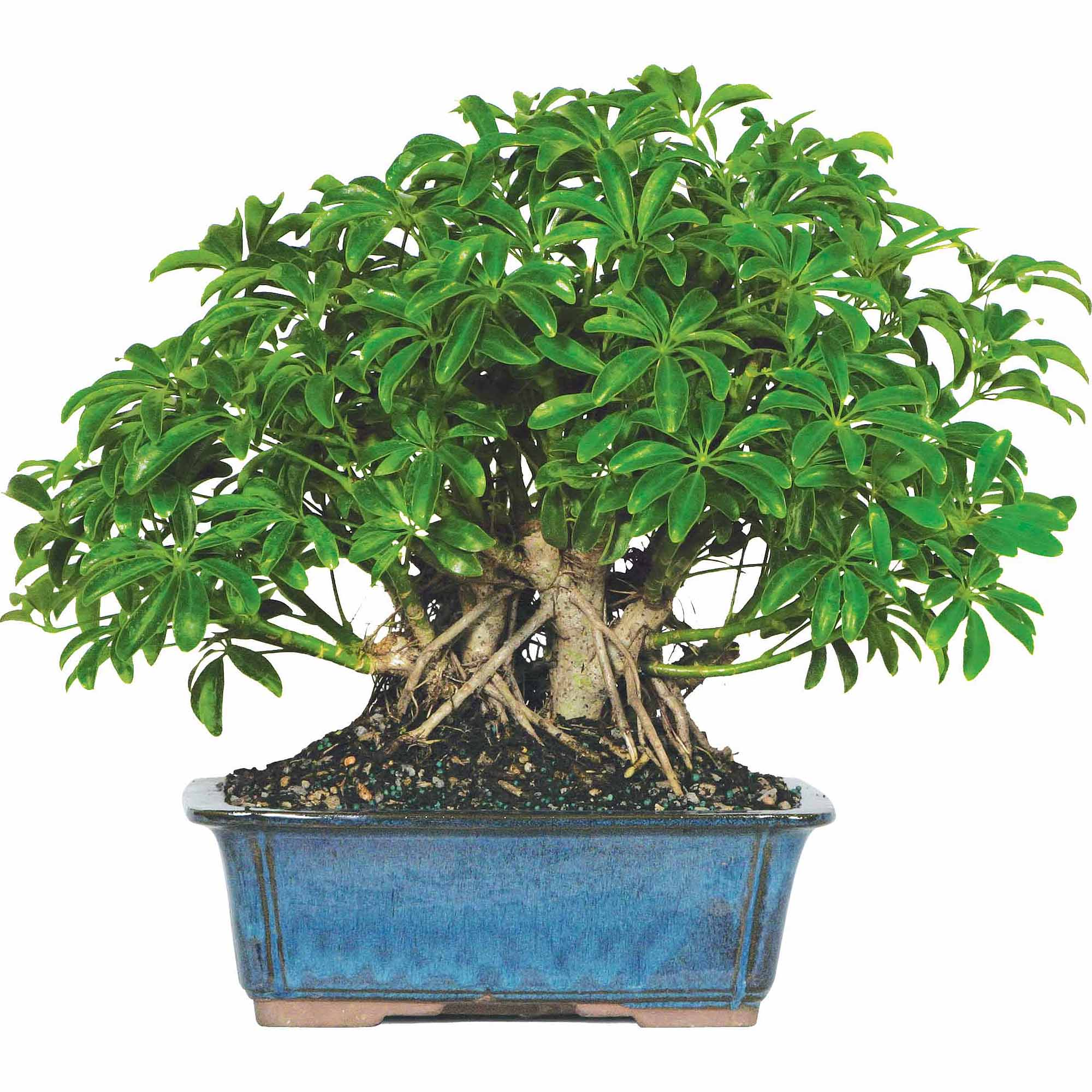 Brussel's Hawaiian Umbrella Bonsai - X Large - (Indoor)