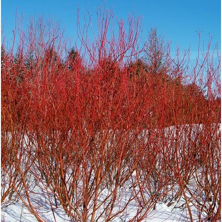 - Baileyi Red Twig Dogwood - 4