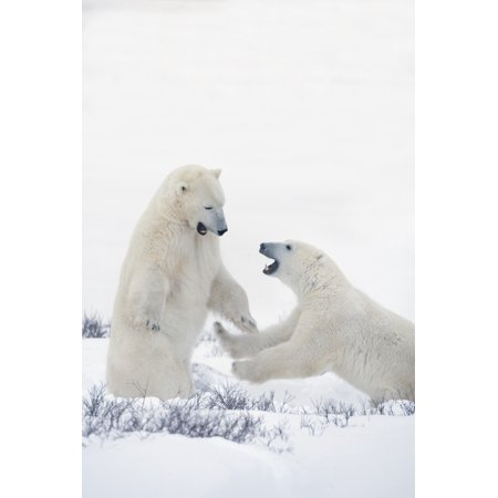 Two Polar Bears Play Fighting To Sharpen Their Hunting Skills As They Wait For The Ice To Freeze Over At Hudson Bay Churchill Manitoba Canada Canvas Art - Richard Wear - Canadian Ice