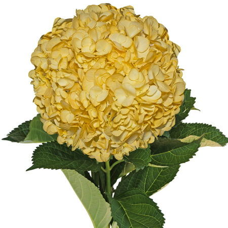 Image of Fresh Cut Airbrushed Fall Yellow Hydrangeas, Pack of 15 by InBloom Group
