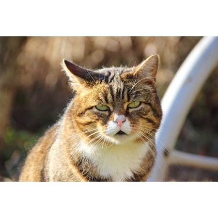 Laminated Poster Animal Expression Portrait Cat Face Close Cat Poster Print 24 x 36