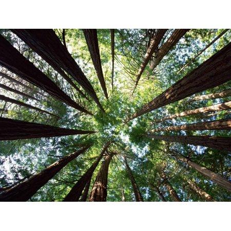 Redwood Grove Tree Forest Botanical Photo Print Wall Art By Douglas Steakley ()