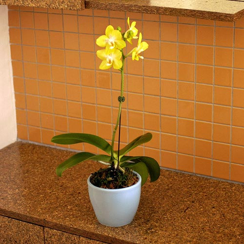 Yellow Phalaenopsis Orchid in Blue Ceramic Pot