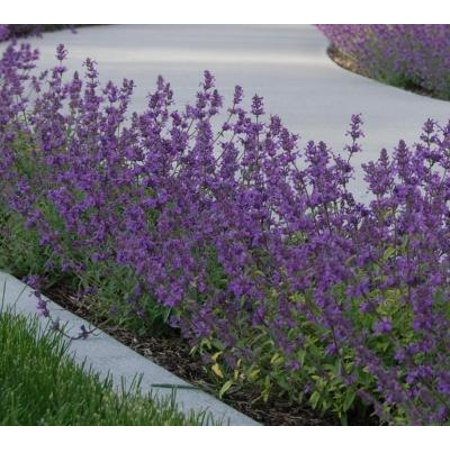 Classy Groundcovers - Nepeta x faasenii 'Walkers Low' Nepeta racemosa, N. mussinii  {25 Pots - 3 1/2 - Low Grounds