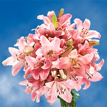 Globalrose 28 Blooms Of Pink Color Asiatic Lilies 8 Stems   Fresh Flowers For Delivery