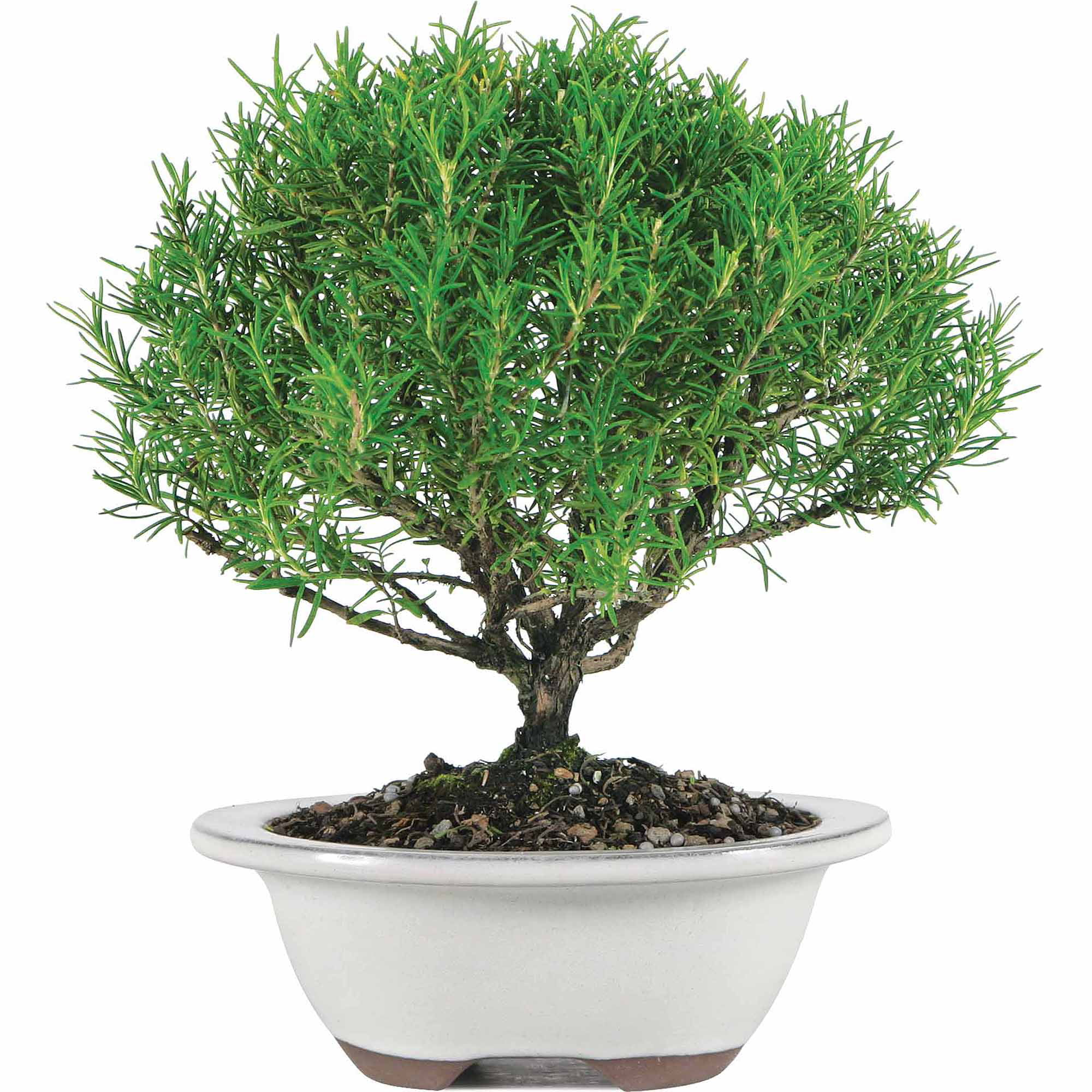 Brussel's Rosemary Bonsai Medium (Outdoor) by Brussel's Bonsai