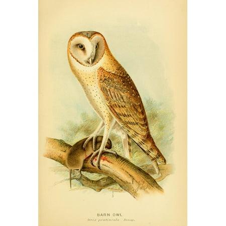 Hawks & Owls of the US 1893 Barn Owl Canvas Art - JL Ridgway (24 x 36)
