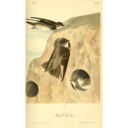 Birds Of America 1844 Bank Swallow Canvas Art   Jj Audubon  18 X 24