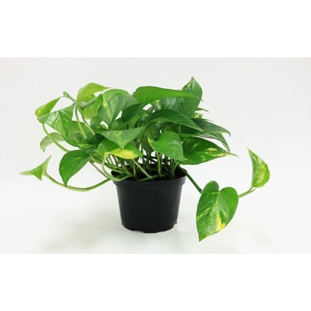 Delray Plants Pothos (Epipremnum aureum) Easy To Grow Live House Plant, 6-inch Grower (10 Best House Plants)