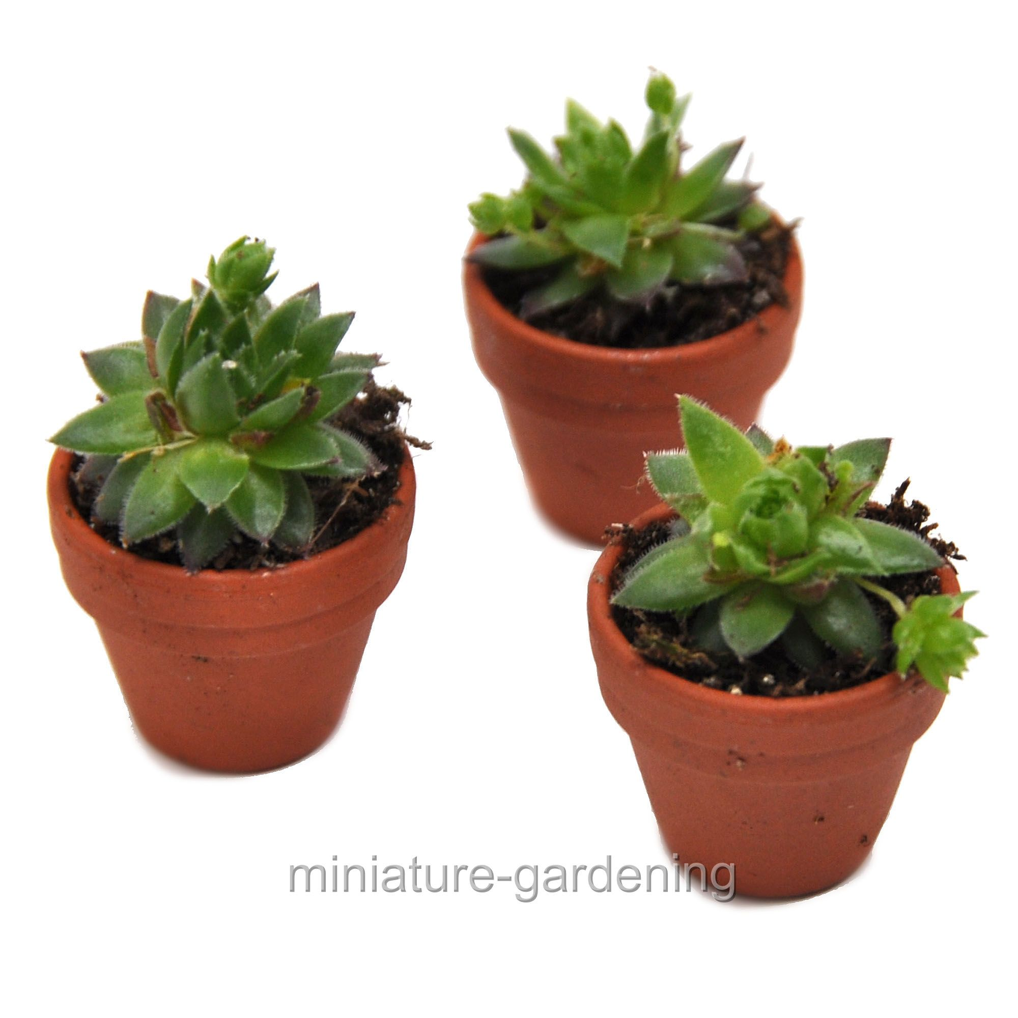 Tiny Terra Cotta Pots, Set of 3 Hen and Chicks, Succulent