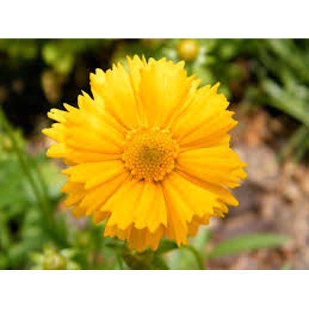 Image of 2.5qt Coreopsis