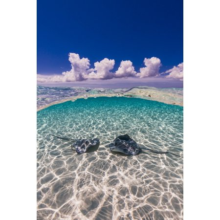 Southern stingrays on the sandbar in Grand Cayman Cayman Islands Poster Print by Jennifer IdolStocktrek Images