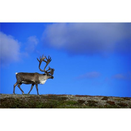Posterazzi DPI12904 Caribou Walking On Hill Crest Poster Print by Jason Witherspoon, 17 x 11 - image 1 of 1