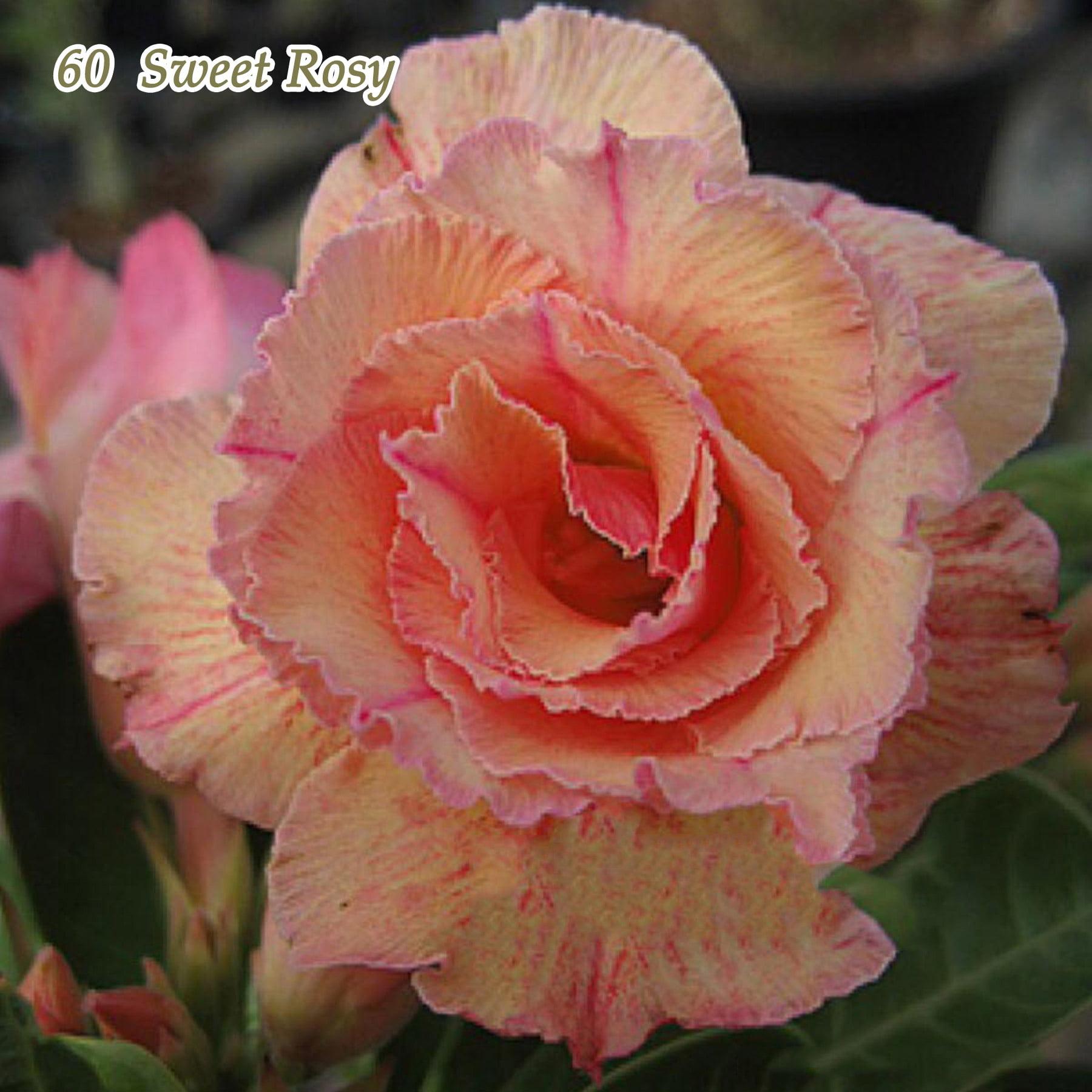 Desert Rose Plant Adenium obesum Mature Bonsai New Hybrids Easy Care by Bonsai Trees