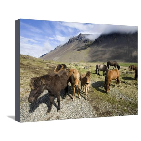 Icelandic Horses With Volcanic Mountains in the Distance, South Iceland, Iceland, Polar Regions Stretched Canvas Print Wall Art By Lee Frost
