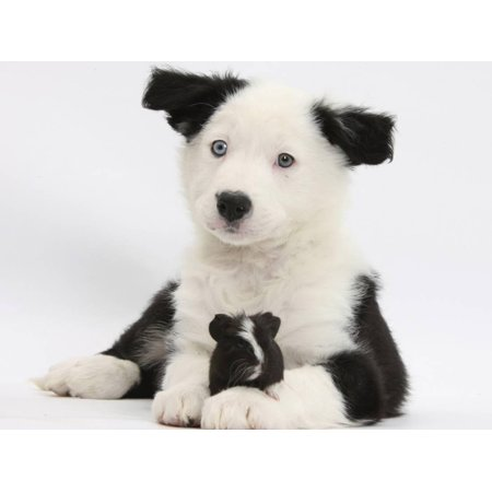 Border Collie Black And White - Black and White Border Collie Puppy and Guinea Pig Print Wall Art By Mark Taylor