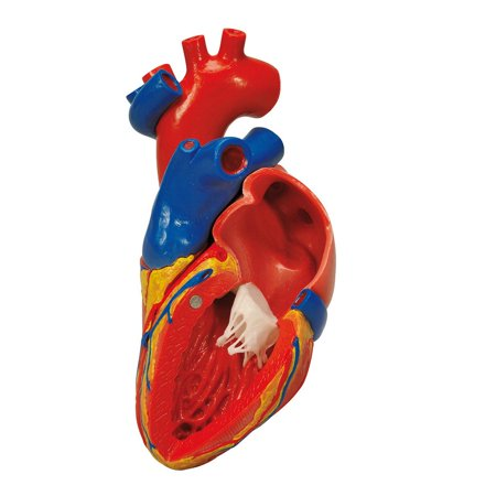 Anatomical model: heart with bypass, 2-part (Best Anatomical Heart Model)