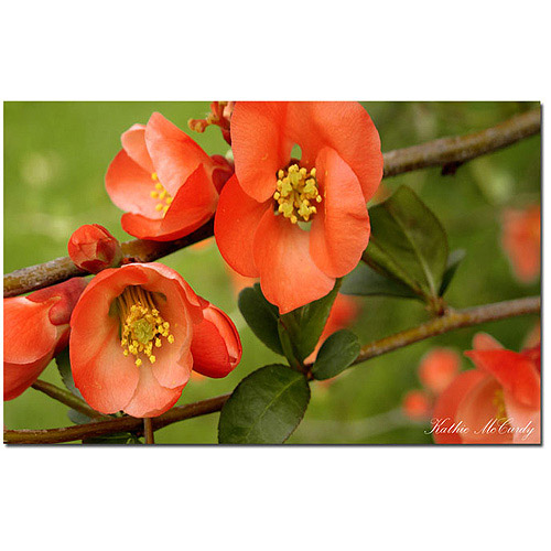 "Trademark Fine Art ""Quince"" Canvas Art by Kathie McCurdy"