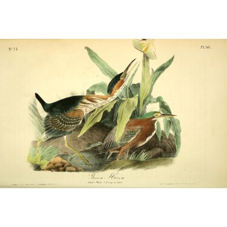 Birds of America 1844 Green Heron Stretched Canvas - JJ Audubon (18 x 24)