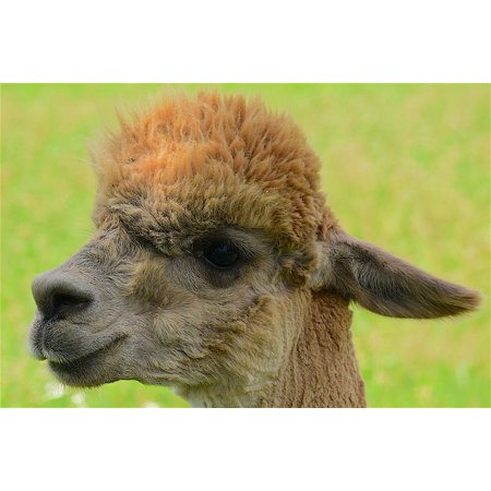 LAMINATED POSTER Face Eyes Portrait Blond Alpaca Animal Fuzzy Poster Print 24 x 36