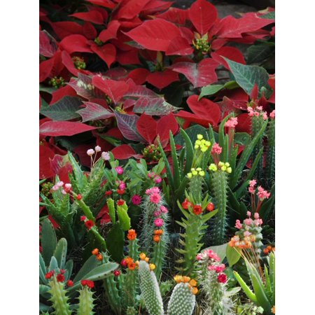 Christmas Poinsettias with Flowering Cactus in Market, San Miguel De Allende, Mexico Print Wall Art By Nancy