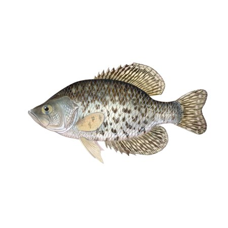 Illustration of a black crappie freshwater fish poster for Walmart freshwater fish