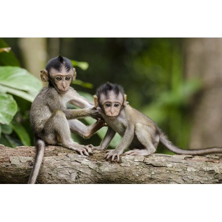 Monkey Small Framed Print (LAMINATED POSTER Nature Apes Monkeys Animals Cute Small Babies Poster Print 24 x 36 )
